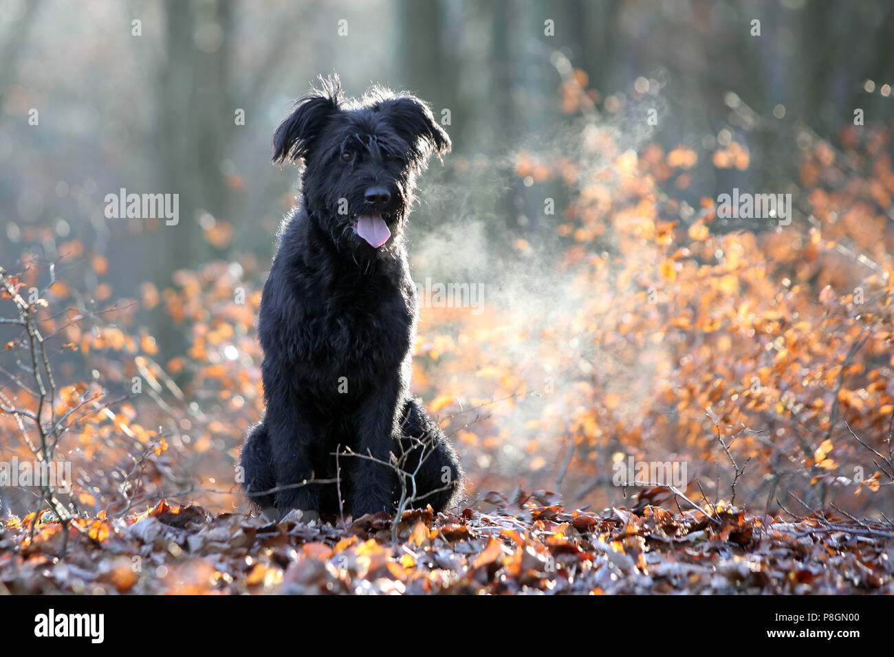 New Kaetwin, Germany, Giant Schnauzer sits panting in the woods on autumn leaves - Stock Image
