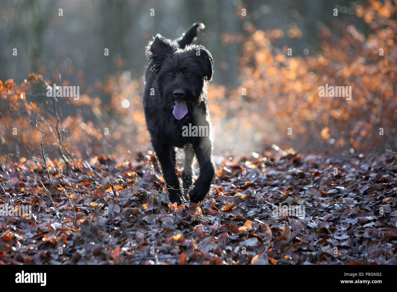 New Kaetwin, Germany, Giant Schnauzer runs panting in the forest on autumn leaves - Stock Image