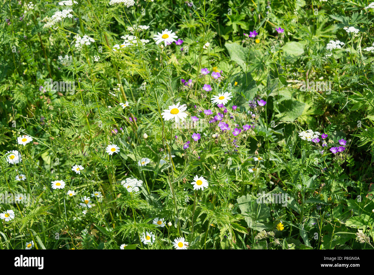 Cow daisy flowers stock photos cow daisy flowers stock images alamy ox eye daisies cow parsley and meadow cranesbills wild flowers growing in the french izmirmasajfo
