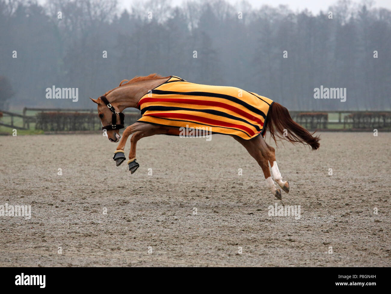 Neustadt (Dosse), horse with blanket hunched on a riding field - Stock Image