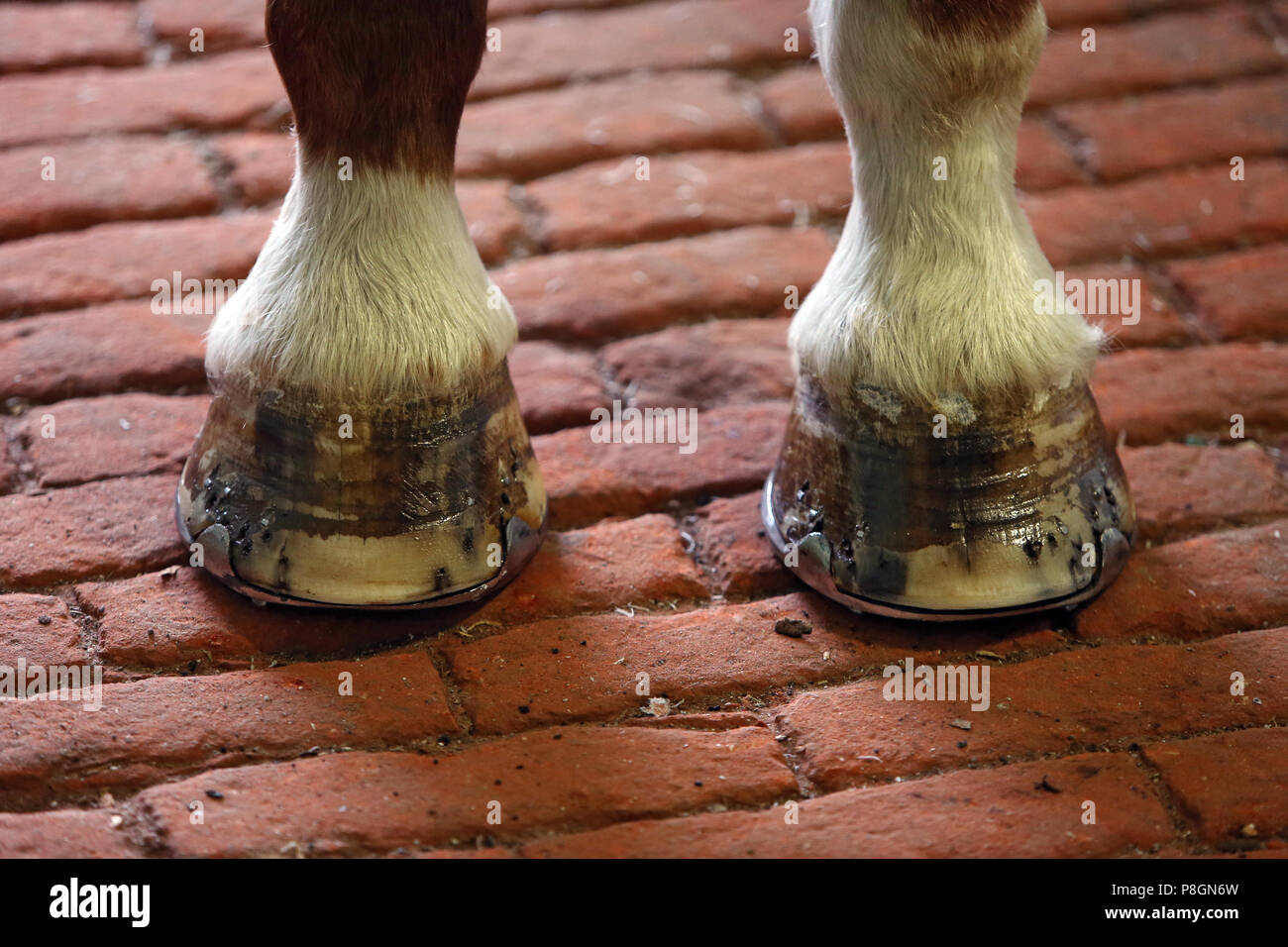 Neustadt (Dosse), fresh studded horse hooves - Stock Image