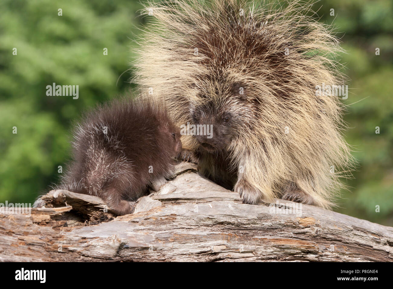 Porcupine Mother and Baby - Stock Image