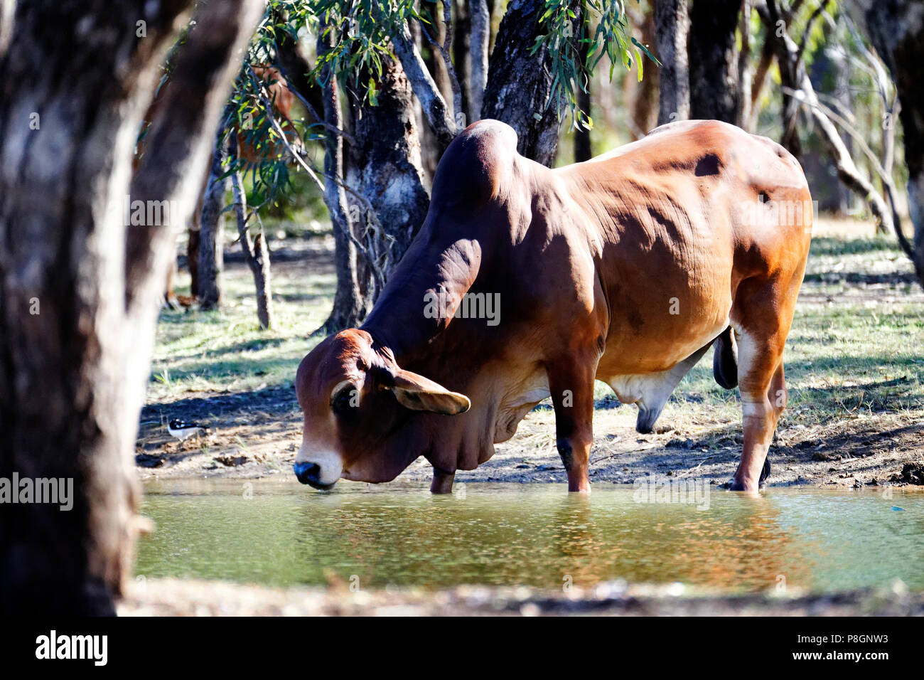 Humped Brahman breeding Bull, (Bos primigenius indicus), drinking from water hole, Australia - Stock Image