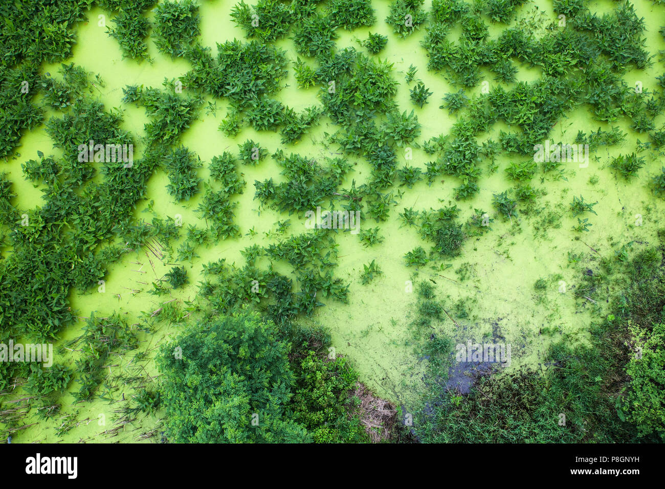 View of green wetland marsh with plants and algae seen from above - Stock Image