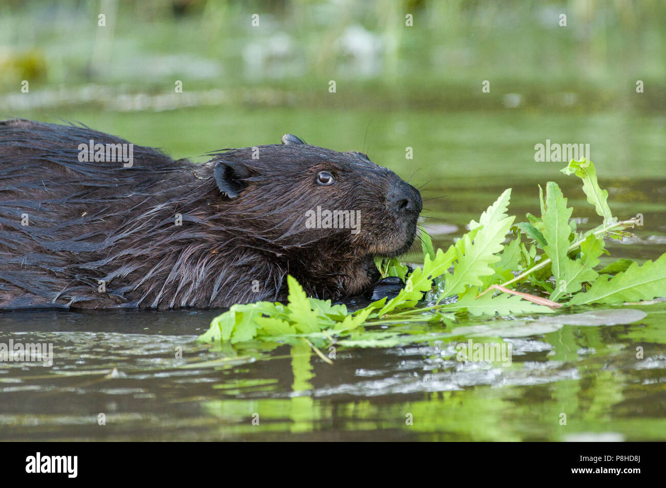A North American beaver (Castor canadensis) eating plants in the water. Stock Photo