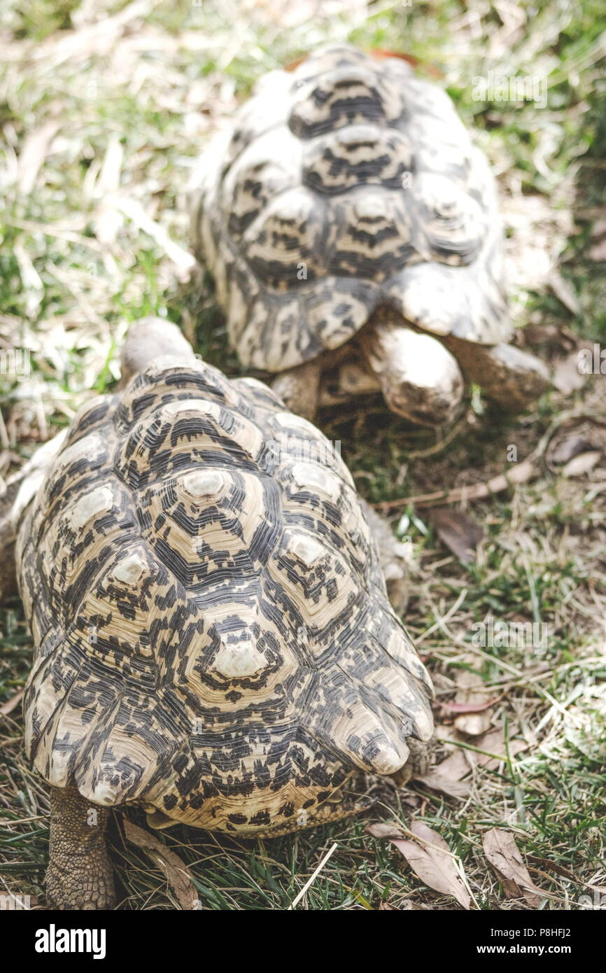 Close up image of two leopard tortoises (Stigmochelys pardalis) - Stock Image