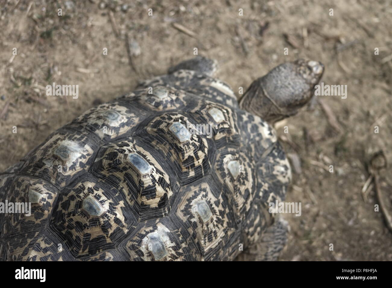Close up image of a leopard tortoise (Stigmochelys pardalis) - Stock Image