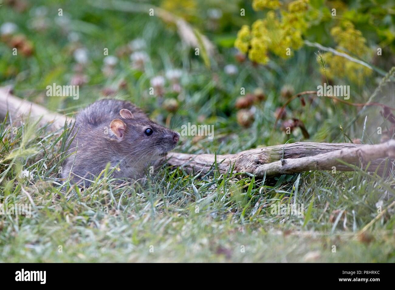 Brown rat (Rattus norvegicus) also known as a Common rat, East Sussex, UK - Stock Image