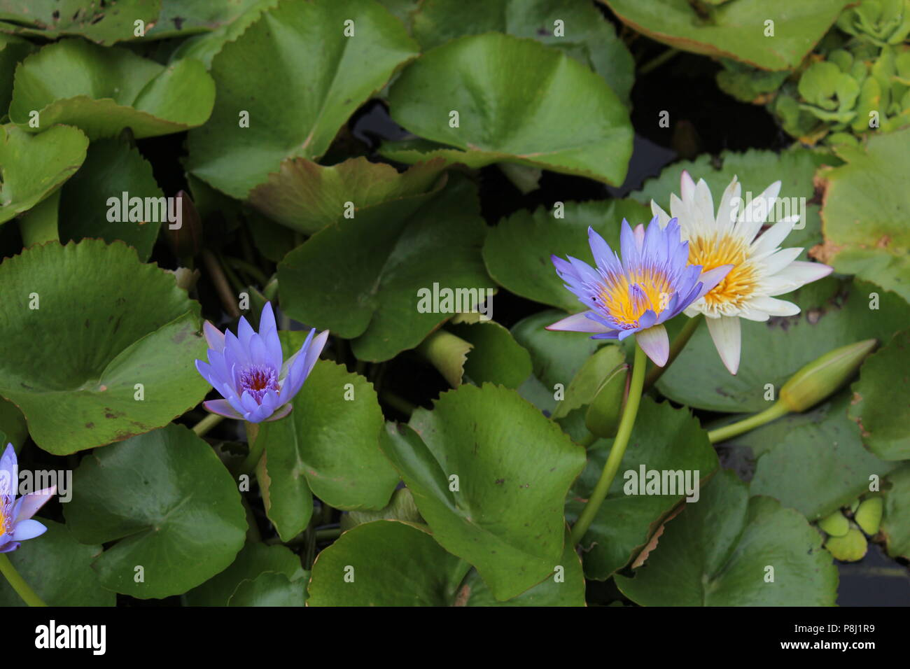 Indian lotus root stock photos indian lotus root stock images alamy lotus in small pond with lilies surrounding it stock image mightylinksfo