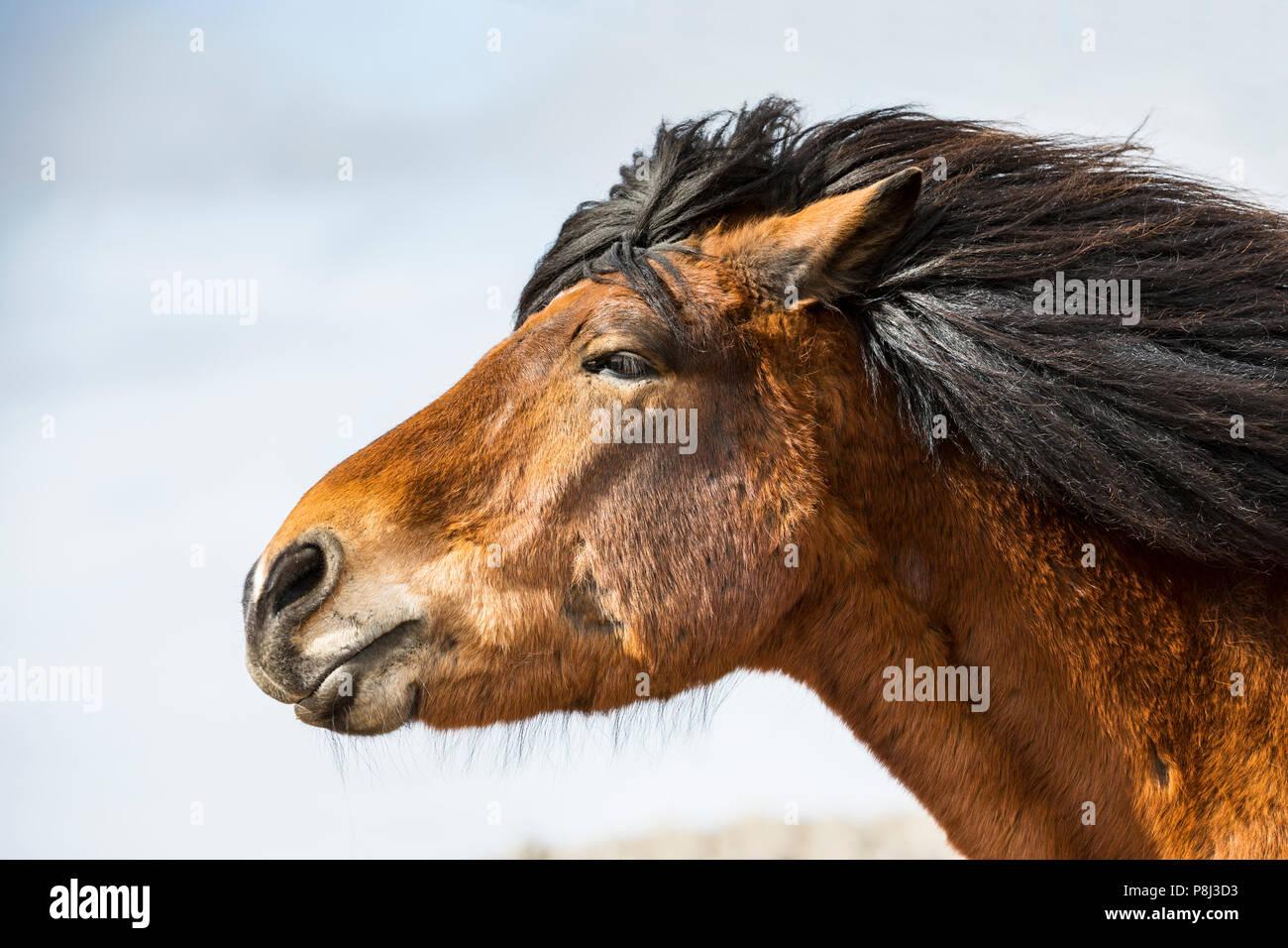 Horse head close up, Iceland horse - Stock Image
