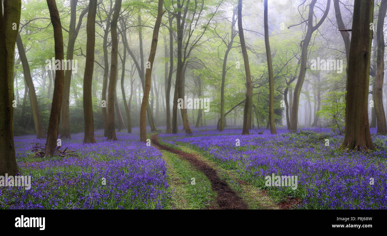 Spring Bluebell Woodlands in the The Chilterns, Oxfordshire - Stock Image