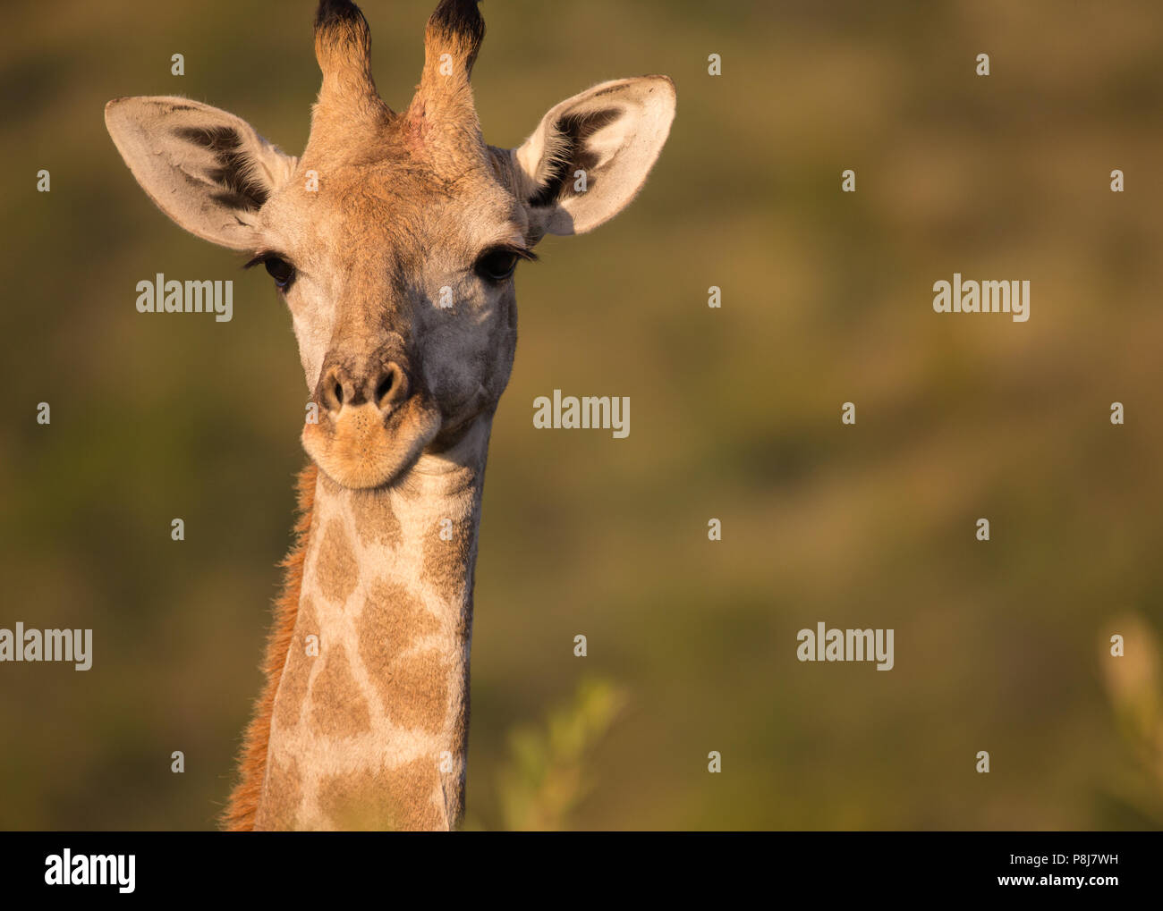 headshot of a Giraffe (Giraffa camelopardalis) facing the camera early morning at Pilanesberg National Park in South Africa - Stock Image