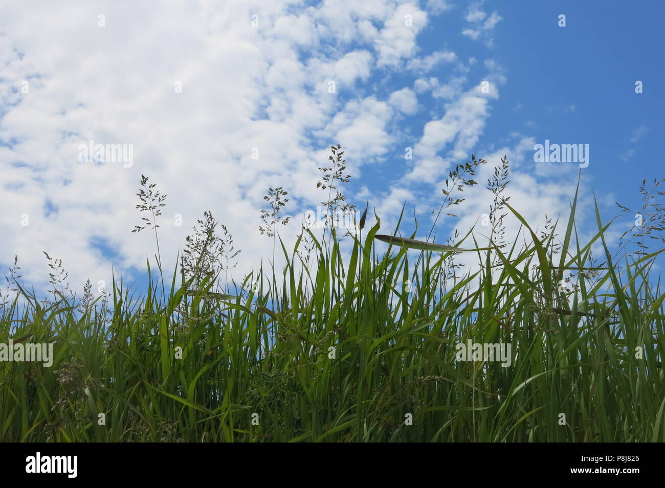 A landscape picture of tall green grasses reaching upwards to whispy, white clouds in a blue, summer sky - Stock Image