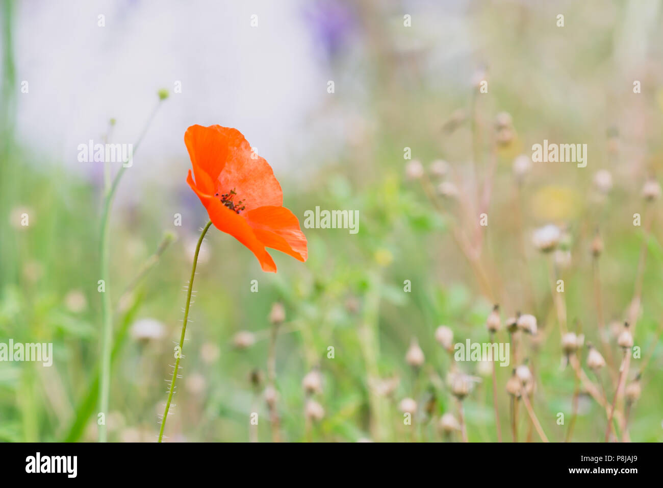 Poppy Flower Summer Meadow Color Explosion Stock Photo 211845153