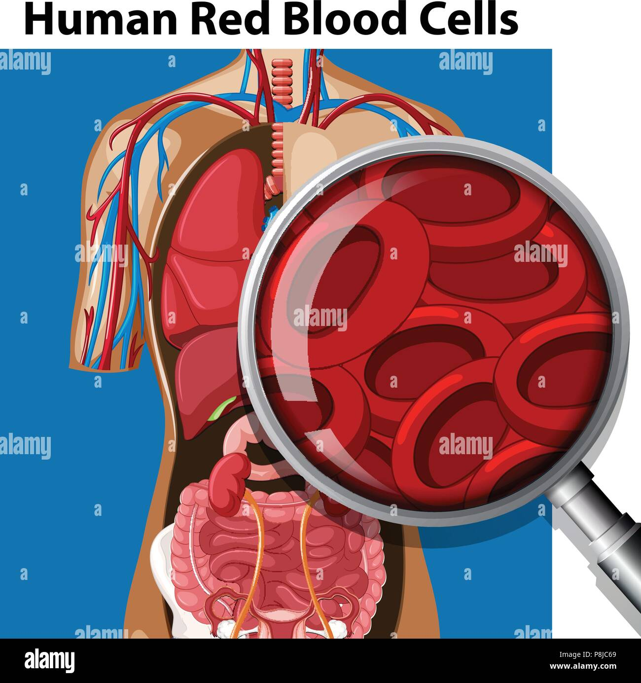Anatomy Of Human Red Blood Cells Illustration Stock Vector Art
