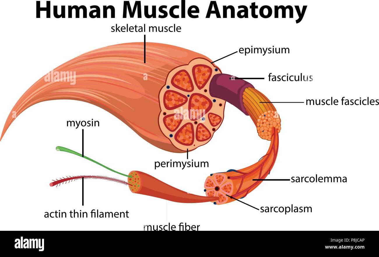 Human Muscle Anatomy Diagram Illustration Stock Vector Art