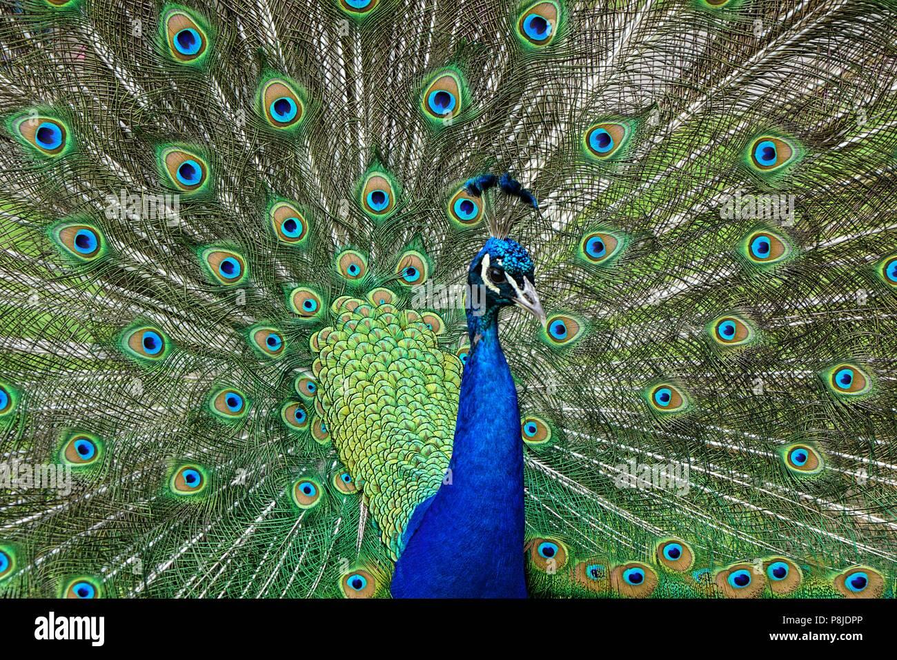 Peacock at Kew Gardens - Stock Image