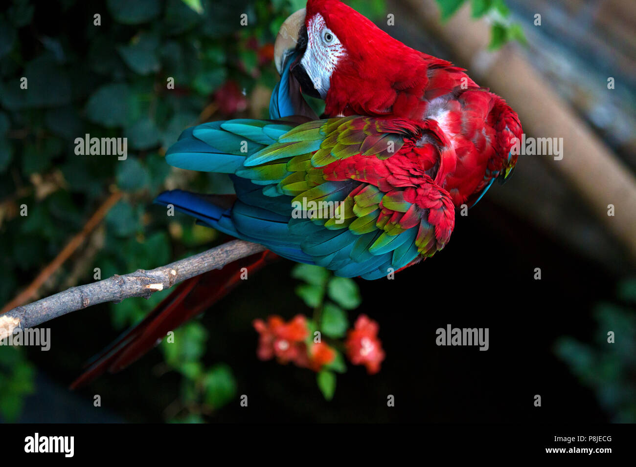A green-winged parrot sits on a branch preening himself. The bird lives in the aviary of a zoo. - Stock Image