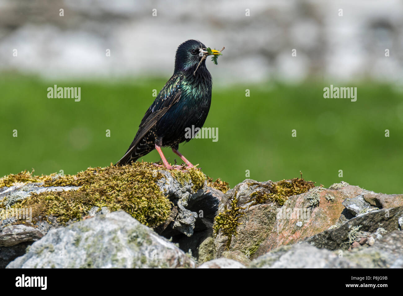 Common starling / European starling (Sturnus vulgaris) with twig in beak for building nest inside dry stone wall in spring, Scotland, UK - Stock Image