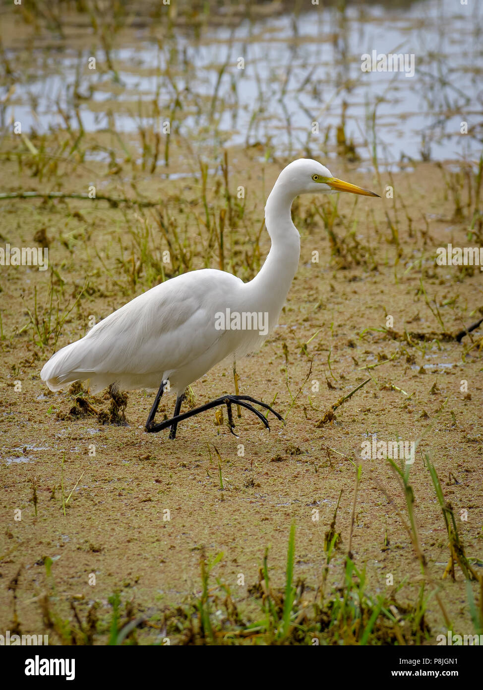 Egret at Bharatpur Reserve - Stock Image