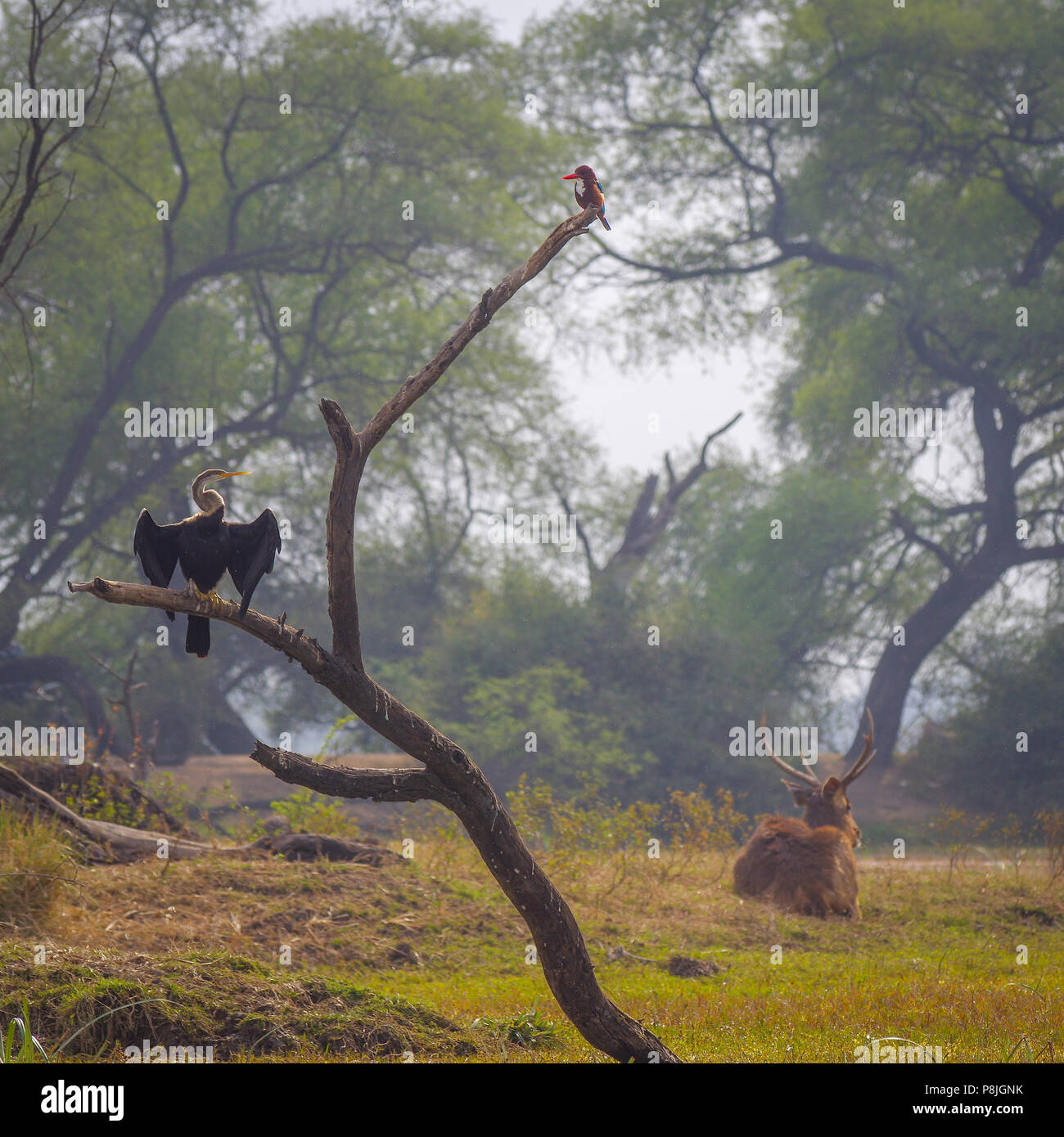 Kingfisher, Darter and Deer at Bharatpur Reserve - Stock Image