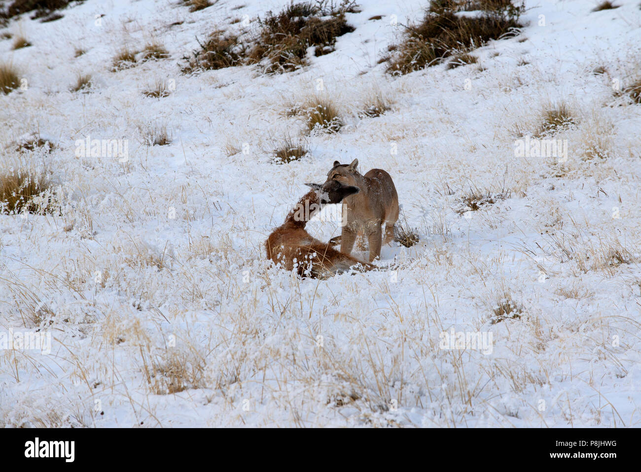 9fe948f8792d Adult female Patagonian Puma standing in snow with a young Guanaco clamped  firmly between it s jaws.