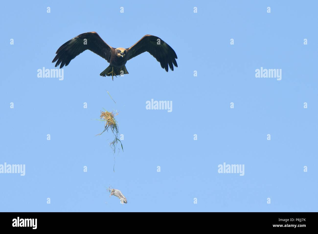 First winter Marsh harrier in flight drops just caught vole in the air - Stock Image