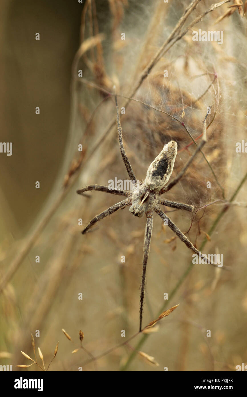 Nursery web spider protecting her web. - Stock Image