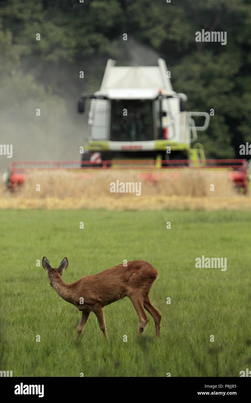 Foraging roe deer is looking up. A huge combine harvester is approaching her. - Stock Image