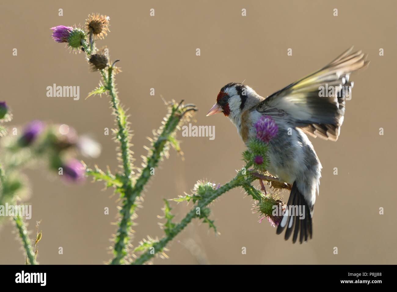 European Goldfinch foraging on seeds of Thistle - Stock Image