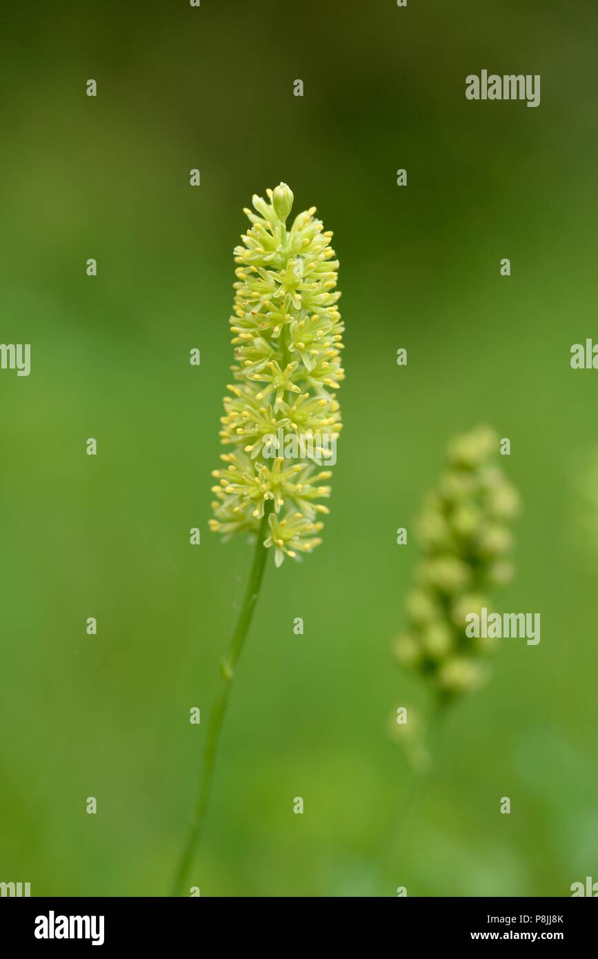Flowering Tofield's Asphodel - Stock Image