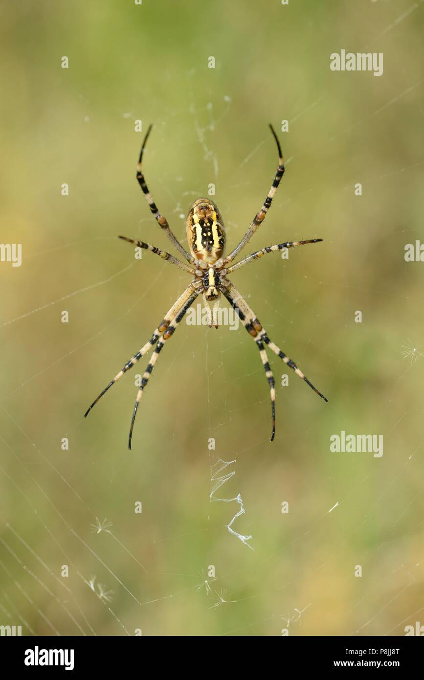 Underside of a female Wasp spider perched in her web - Stock Image