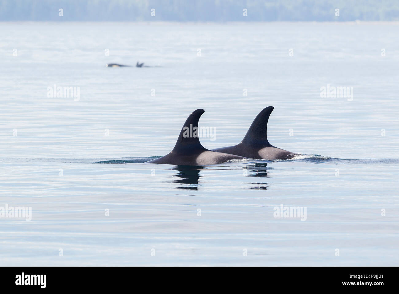 Killer whales - Stock Image