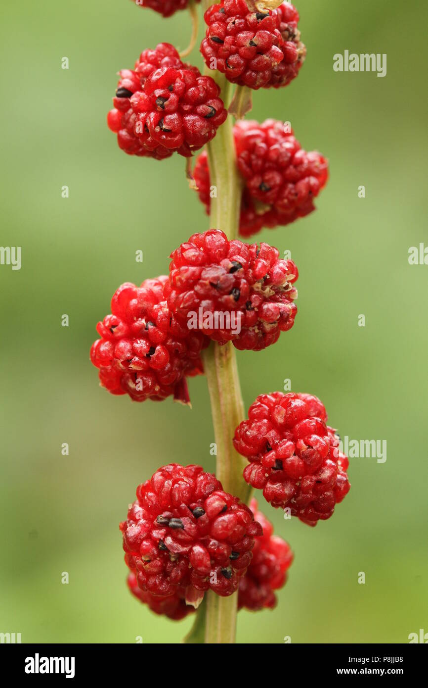Side view of stalk with (pseudo)fruits of Strawberry Blite (Chenopodium foliosum) - Stock Image