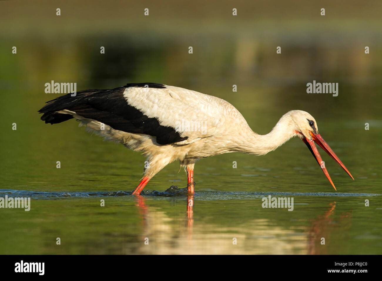 Feeding White Stork in marsh - Stock Image