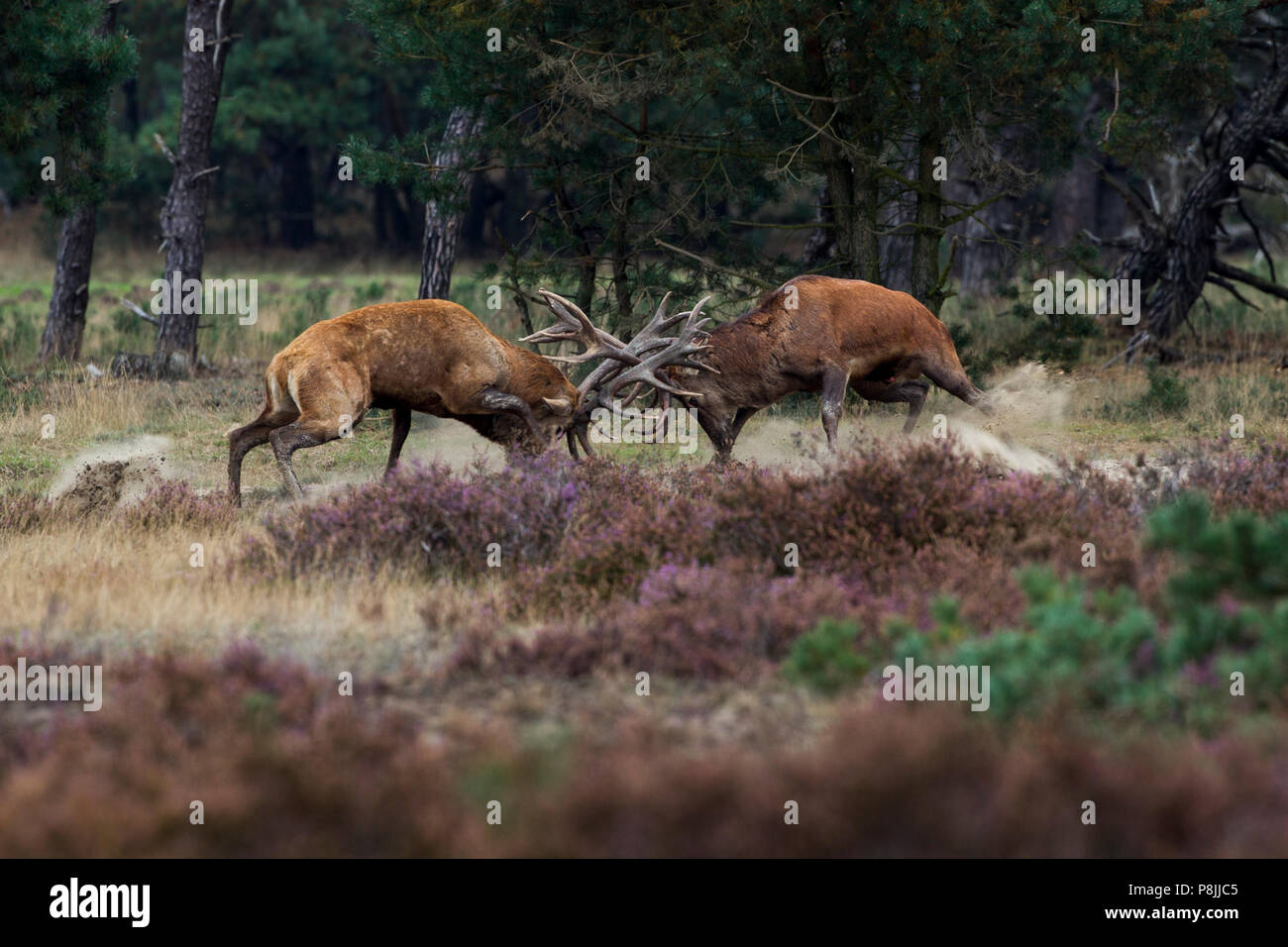 fighting Red deer stags during the rut Stock Photo