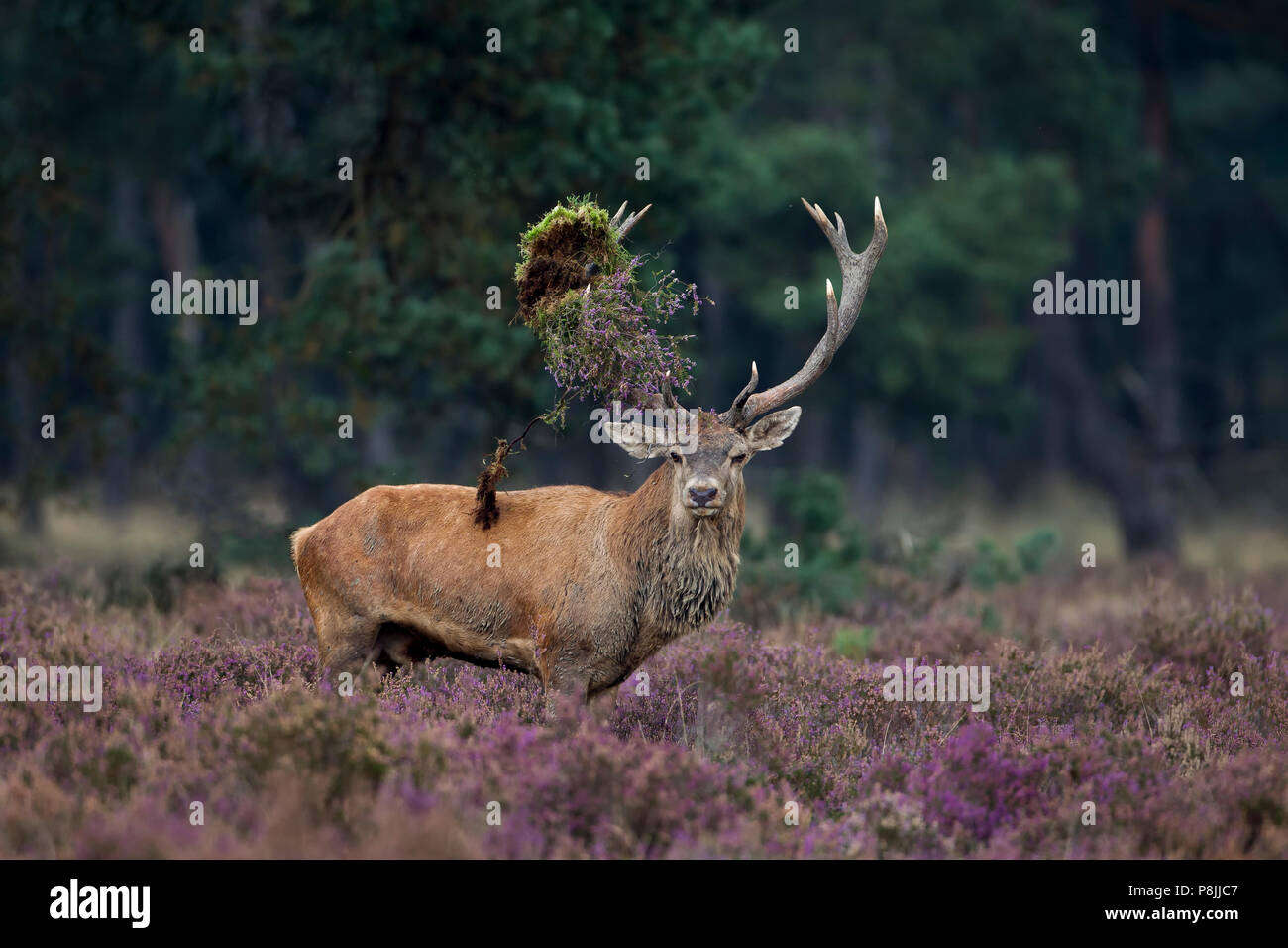 Red deer stag with vegetation in its antlers Stock Photo