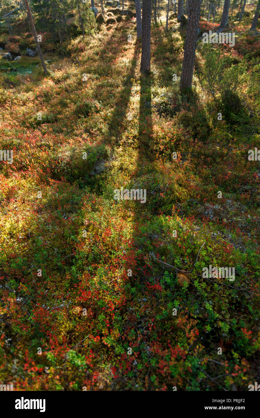 taiga forest in atumn colors - Stock Image