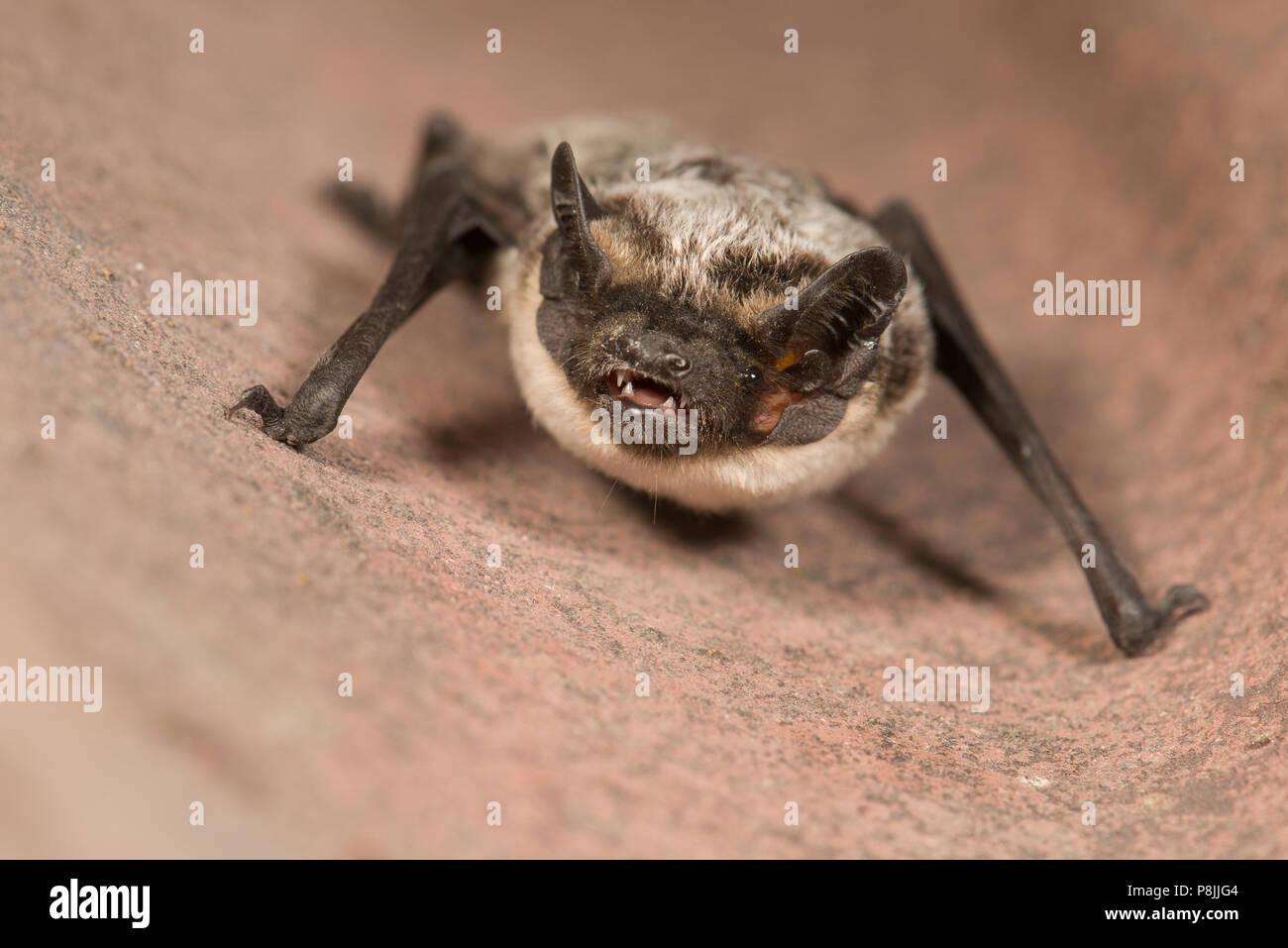 Parti-coloured bat - Stock Image