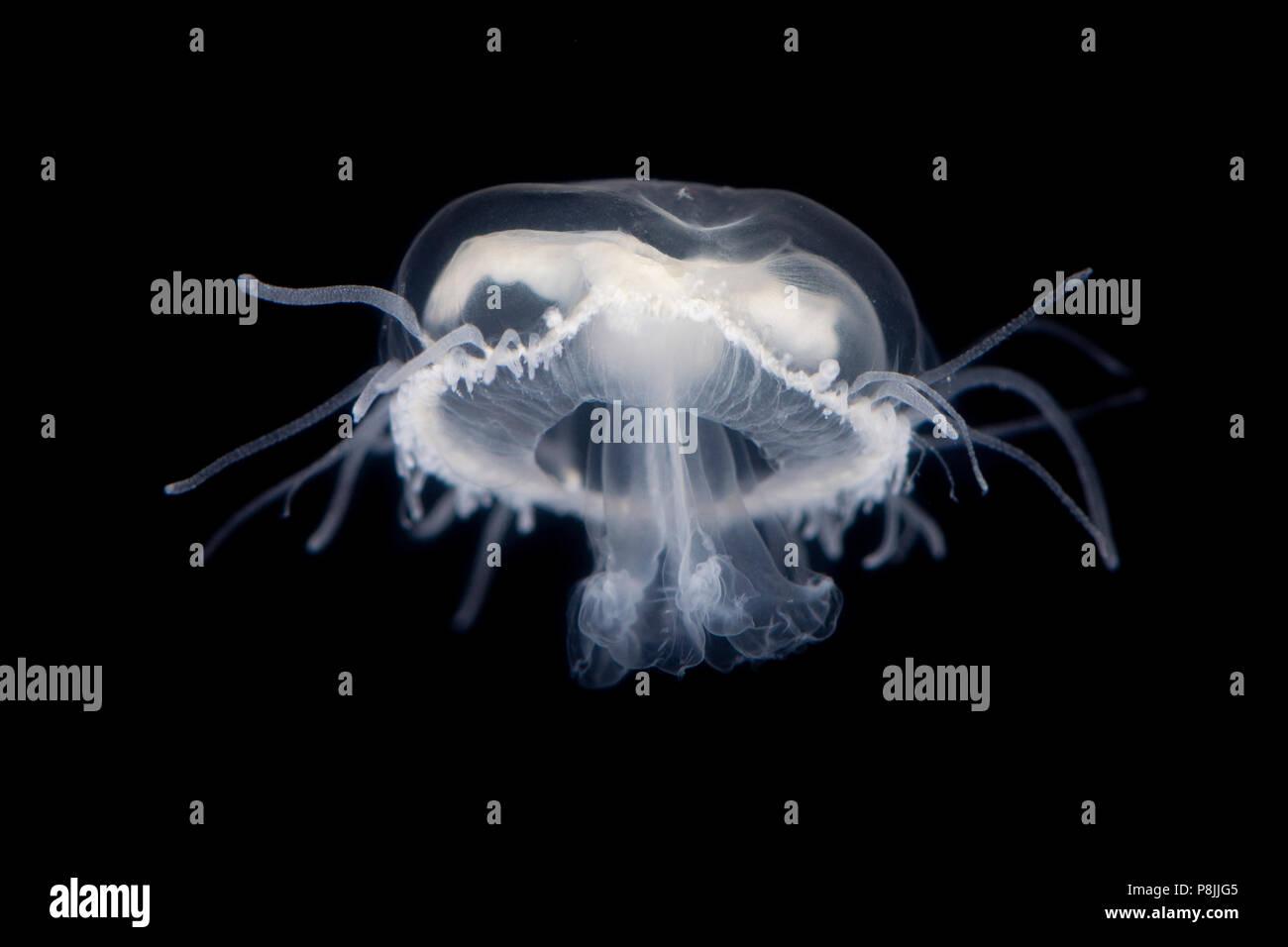 Freshwater jellyfish - Stock Image