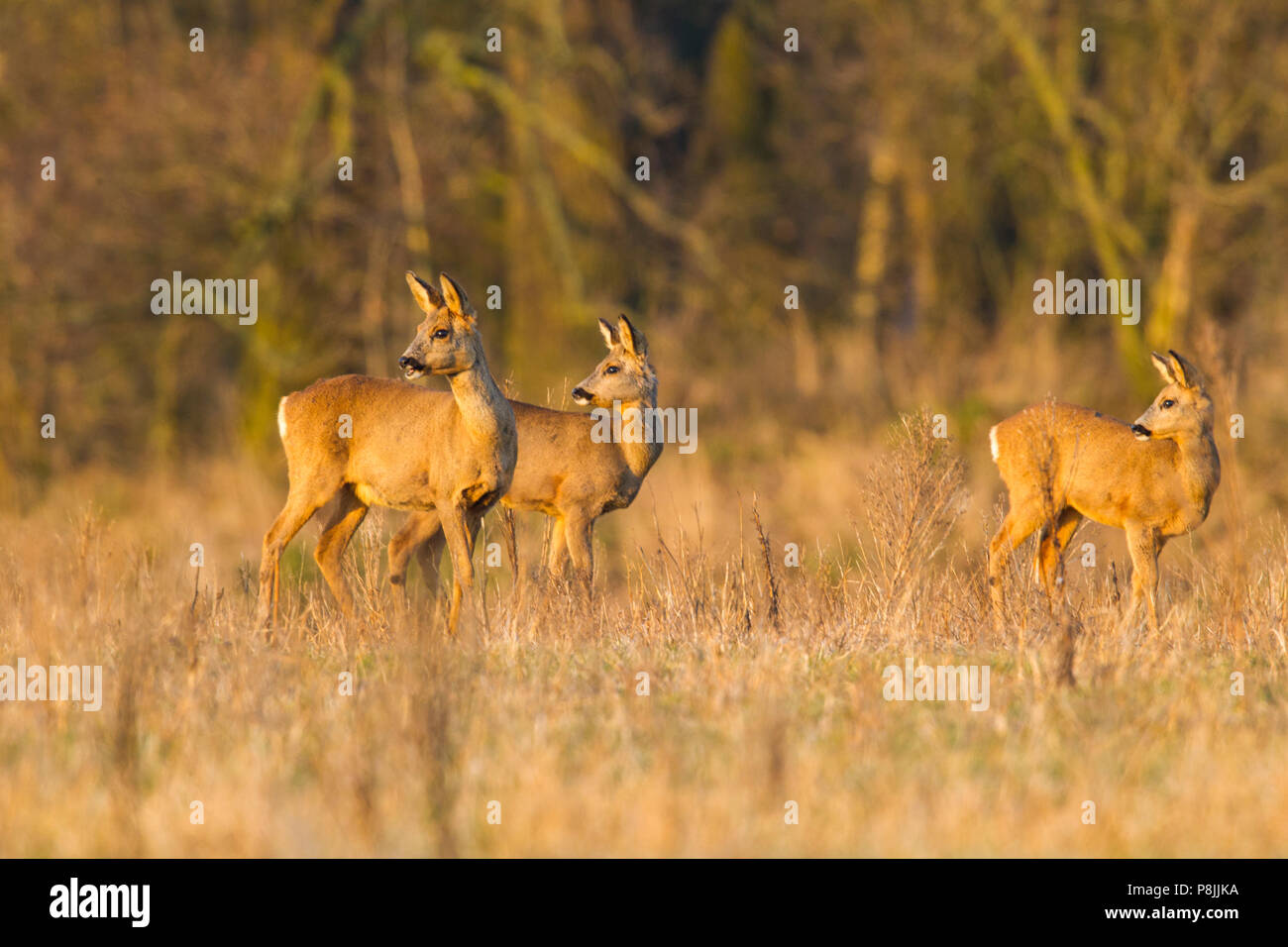Alert group of Roe deer - Stock Image