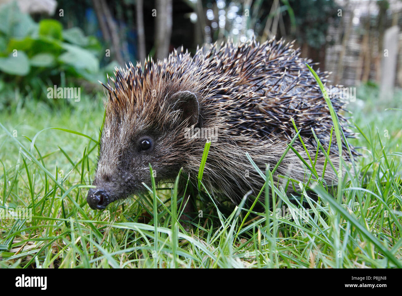 Hedgehog in grass in a garden - Stock Image