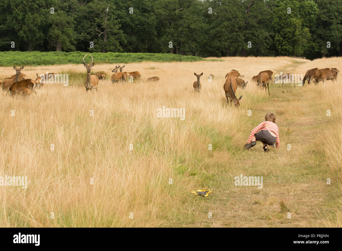 Girl ambushing Red deer in Richmond Park - Stock Image