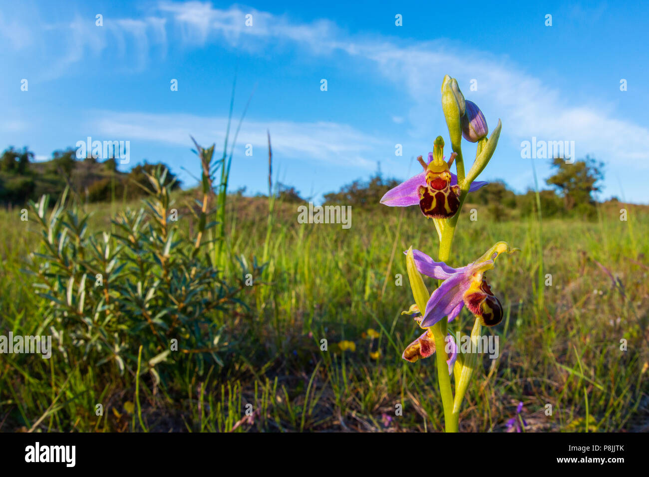 Bee Orchid in dunevalley - Stock Image