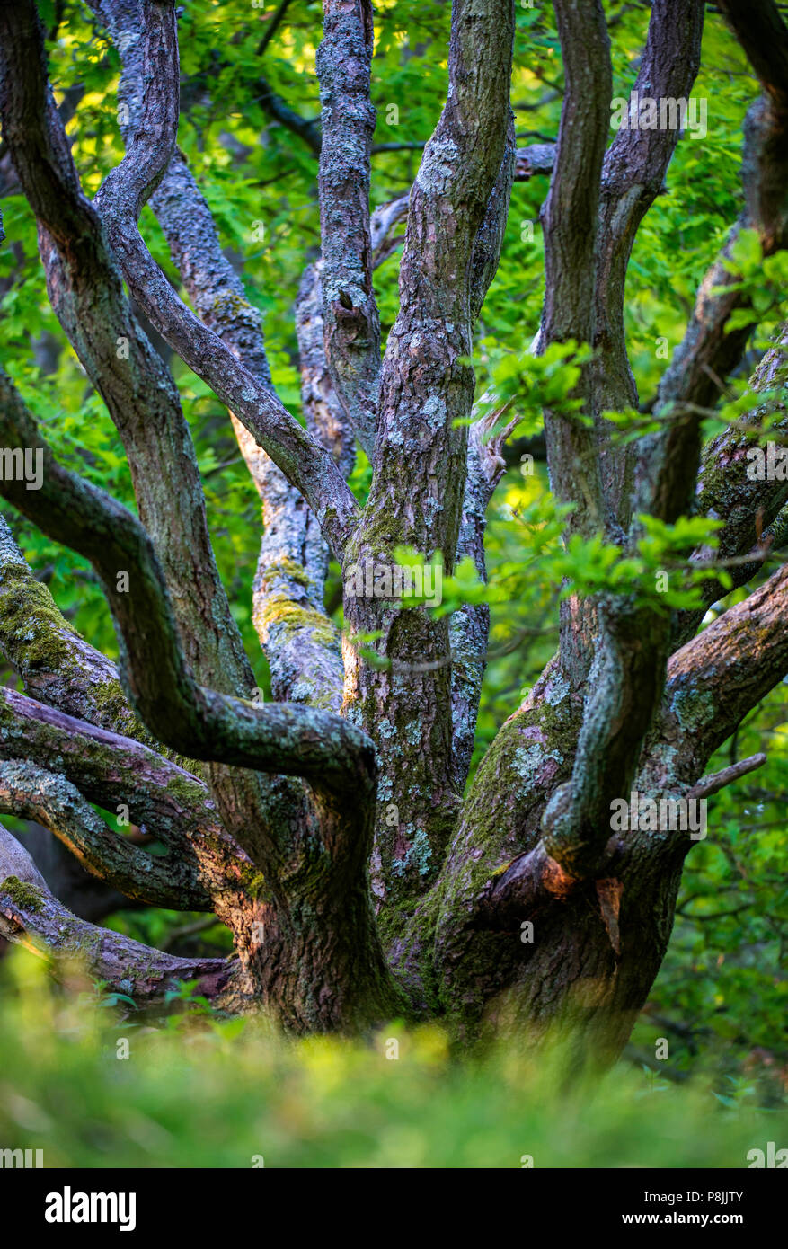 Ancient oak woodland during spring - Stock Image