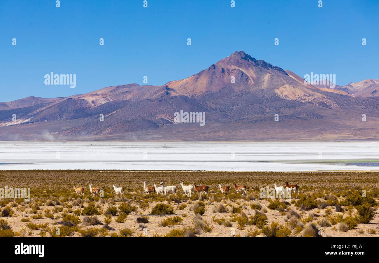 Alpaca (Lama pacos) herd on the shore of the salt flat of Salar de Surire - Stock Image