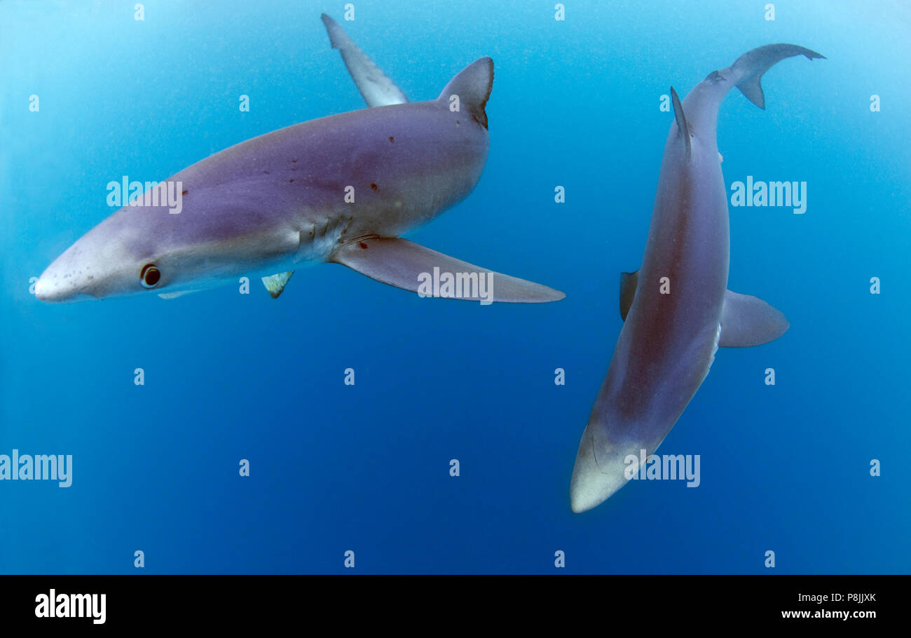 Blue sharks in open water Stock Photo