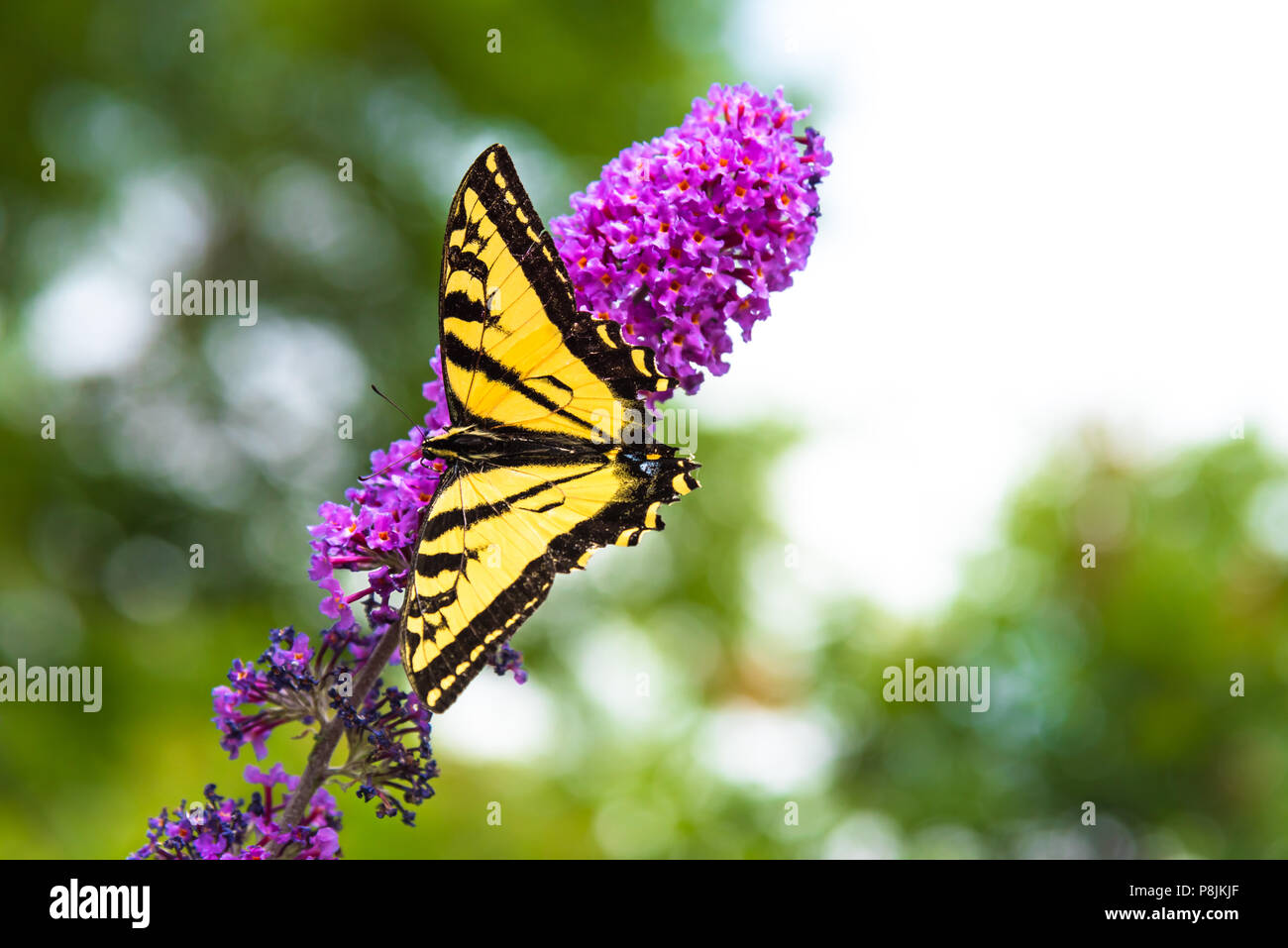 Close Up Of Yellow And Black Swallowtail Butterfly Perched On Pink