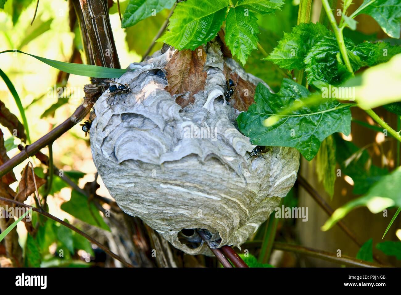 Yellowjacket bee nest - Stock Image