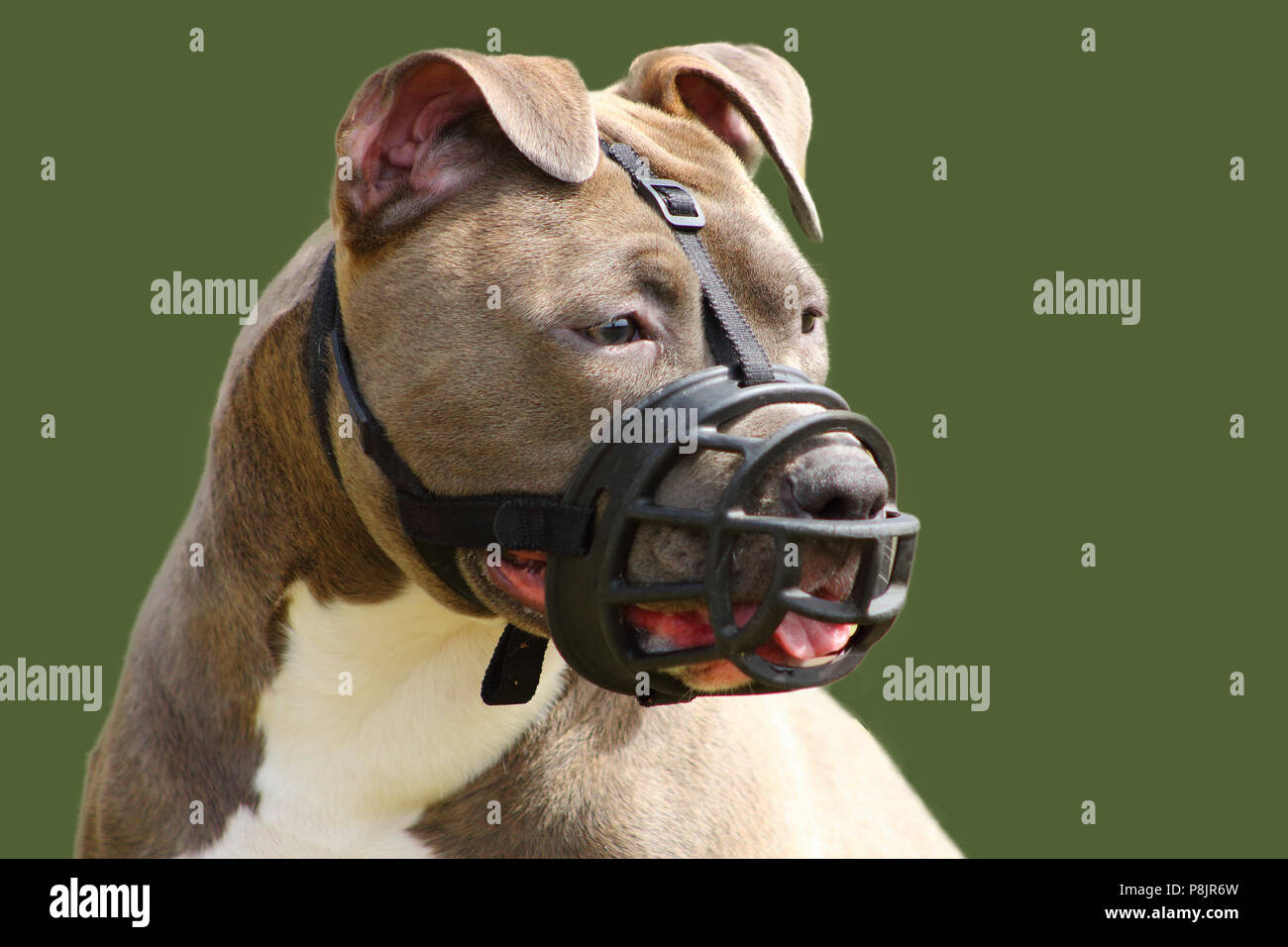 face of an american staffordshire terrier dog with muzzle - Stock Image